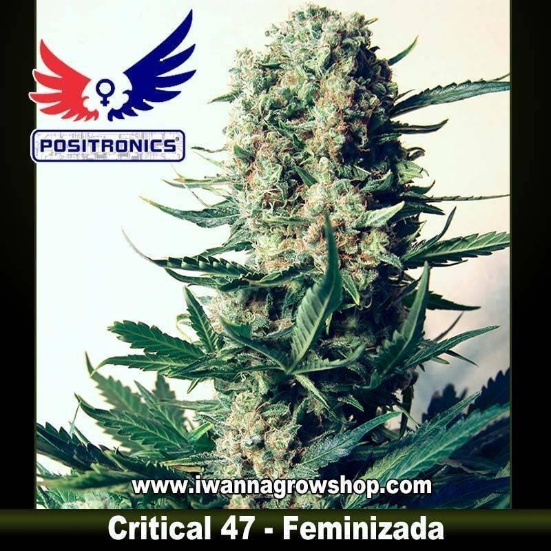 CRITICAL 47 de POSITRONICS – semilla feminizada (INDICA)