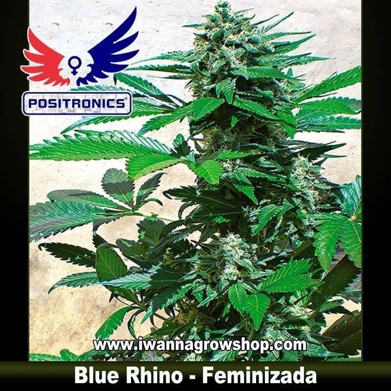BLUE RHINO de POSITRONICS – semilla feminizada (INDICA)