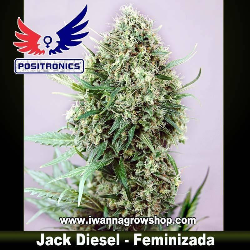 JACK DIESEL de POSITRONICS – semilla feminizada (SATIVA)