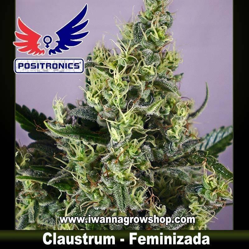 CLAUSTRUM de POSITRONICS – semilla feminizada (SATIVA)
