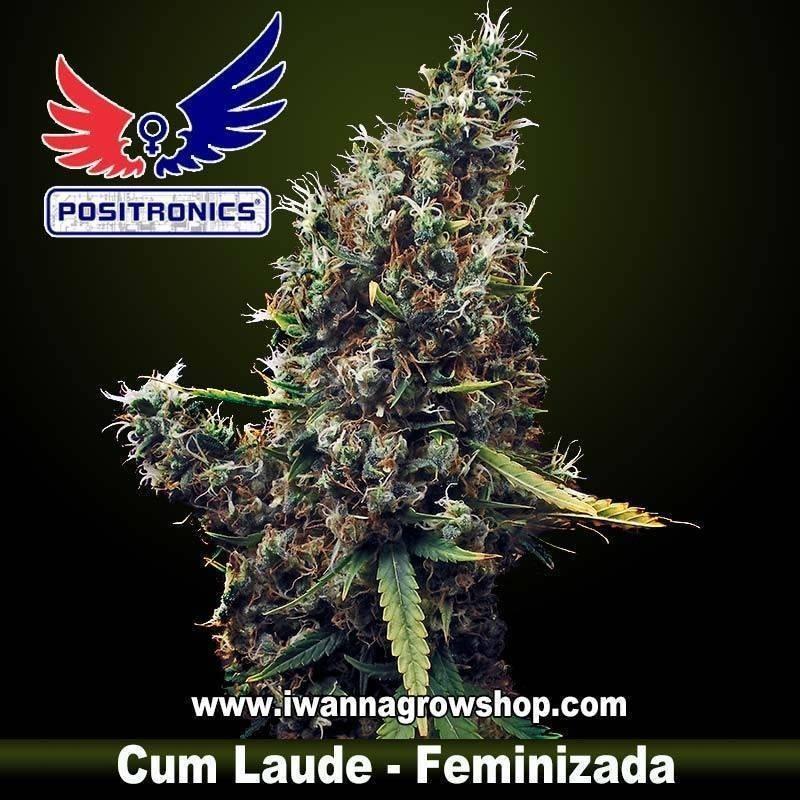 CUM LAUDE de POSITRONICS – semilla feminizada (SATIVA)