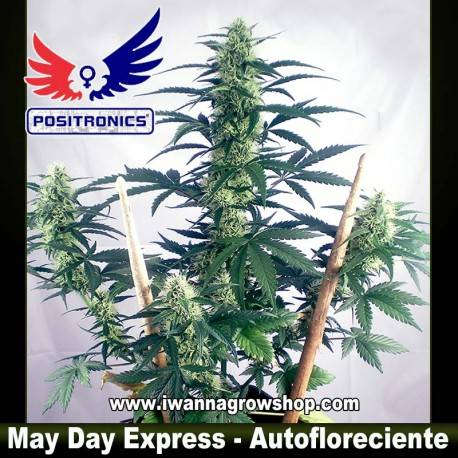 MAY DAY EXPRESS de POSITRONICS – semilla (AUTOFLORECIENTE)