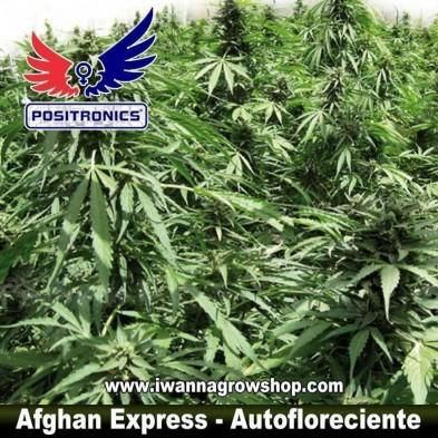 AFGHAN EXPRESS de POSITRONICS | Autofloreciente