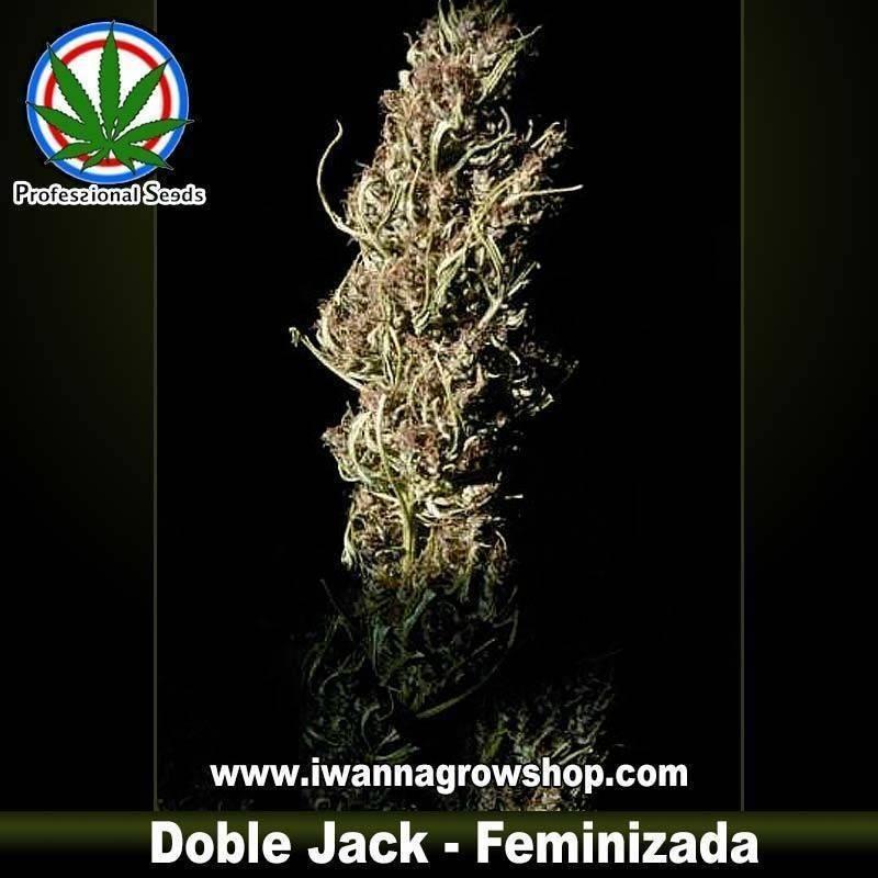 DOBLE JACK de PROFESSIONAL SEEDS – semilla feminizada (SATIVA)