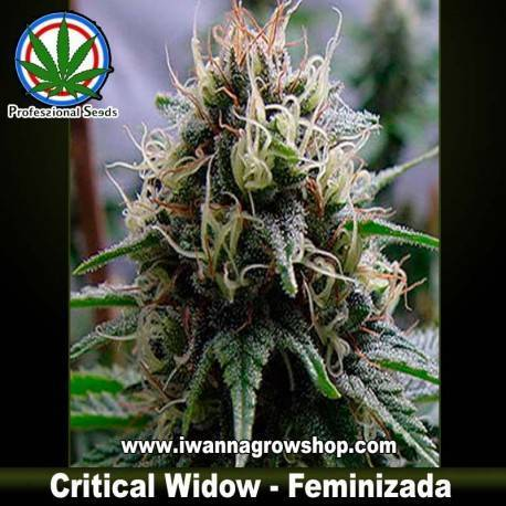 CRITICAL WIDOW de PROFESSIONAL SEEDS –feminizada (SATIVA)