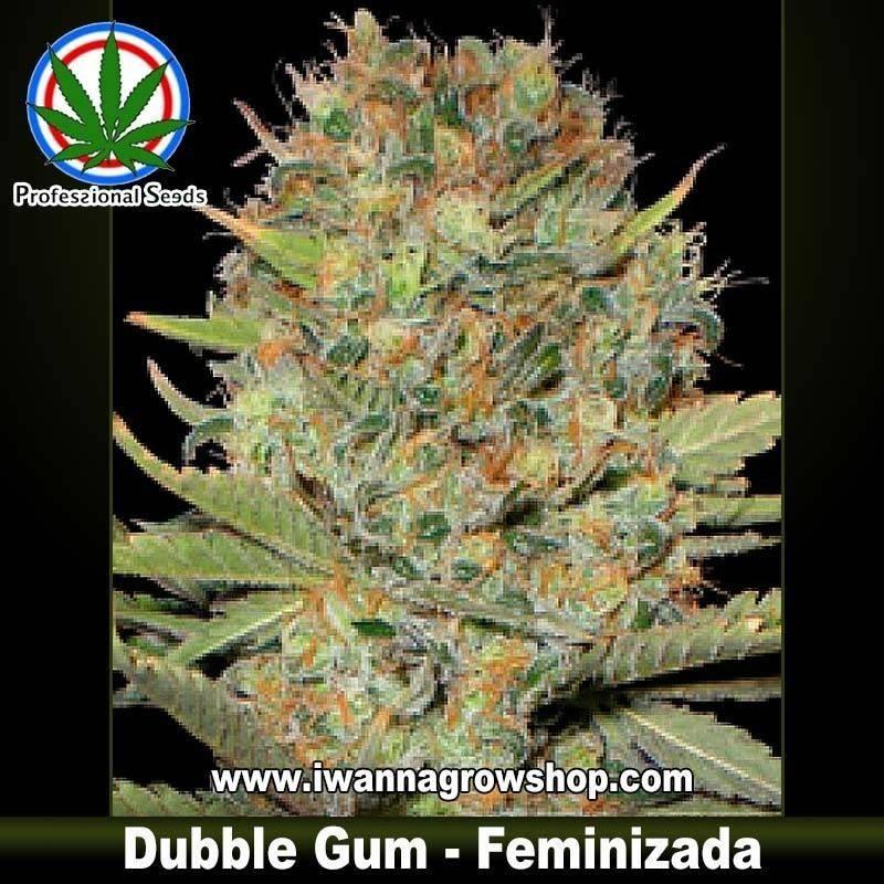 Dubble Gum Feminizada Professional Seeds - 3 y 10 u.