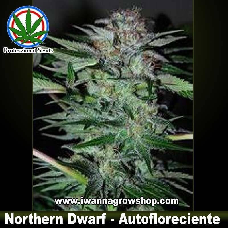 NORTHERN DWARF de PROFESSIONAL SEEDS – semilla autofloreciente