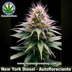 NEW YORK DIESEL de PROFESSIONAL SEEDS | Autofloreciente