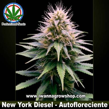 NEW YORK DIESEL de PROFESSIONAL SEEDS – autofloreciente (INDICA)