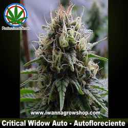 Critical Widow Auto – Autofloreciente