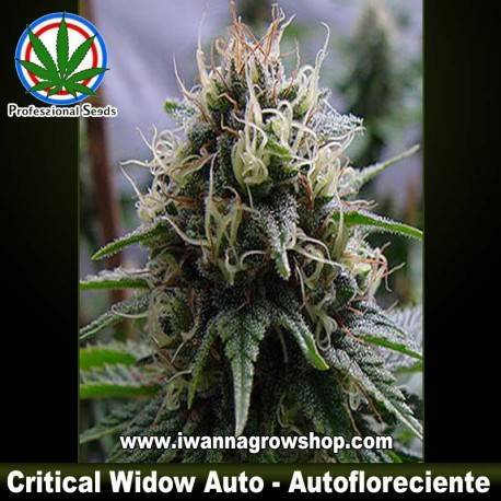 Critical Widow Auto