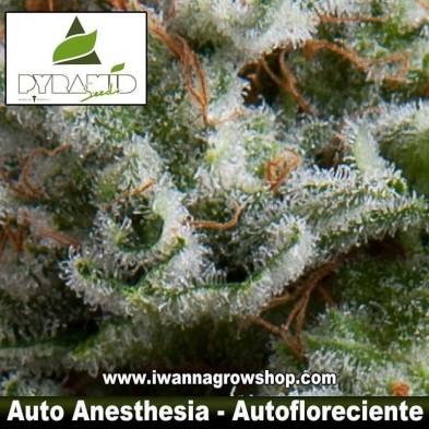 Auto Anesthesia – Autofloreciente