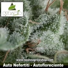 AUTO NEFERTITI de PYRAMID SEEDS | Autofloreciente | Sativa