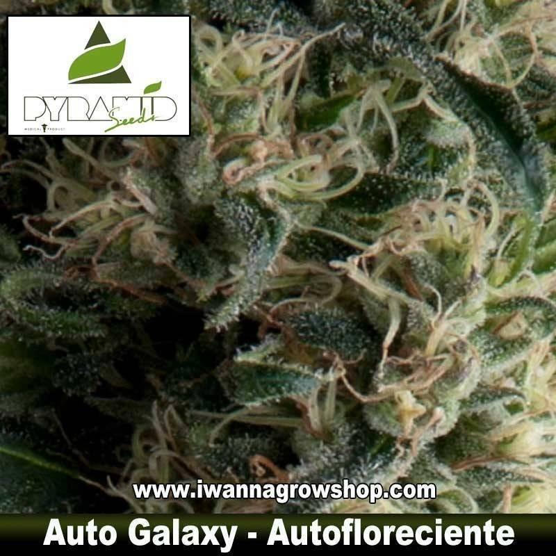 AUTO GALAXY de PYRAMID SEEDS – autofloreciente (INDICA)