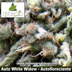 AUTO WHITE WIDOW de PYRAMID SEEDS | Autofloreciente | Indica