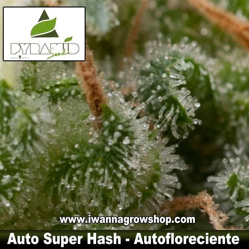 AUTO SUPER HASH de PYRAMID SEEDS – autofloreciente (INDICA)