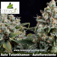 AUTO TUTANKHAMON de PYRAMID SEEDS | Autofloreciente | Indica