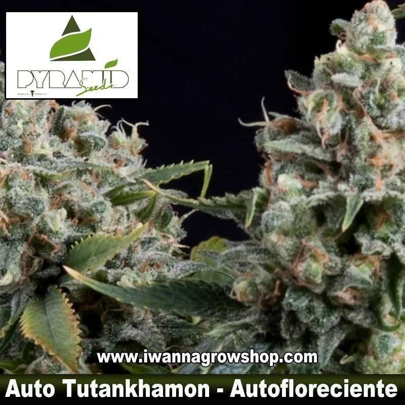 AUTO TUTANKHAMON de PYRAMID SEEDS – semilla autofloreciente
