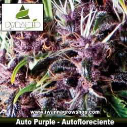 AUTO PURPLE de PYRAMID SEEDS – semilla autofloreciente (SATIVA)