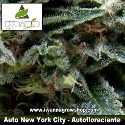 AUTO NEW YORK CITY de PYRAMID SEEDS | Autofloreciente | Sativa