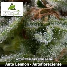 AUTO LENNON de PYRAMID SEEDS | Autofloreciente | Indica