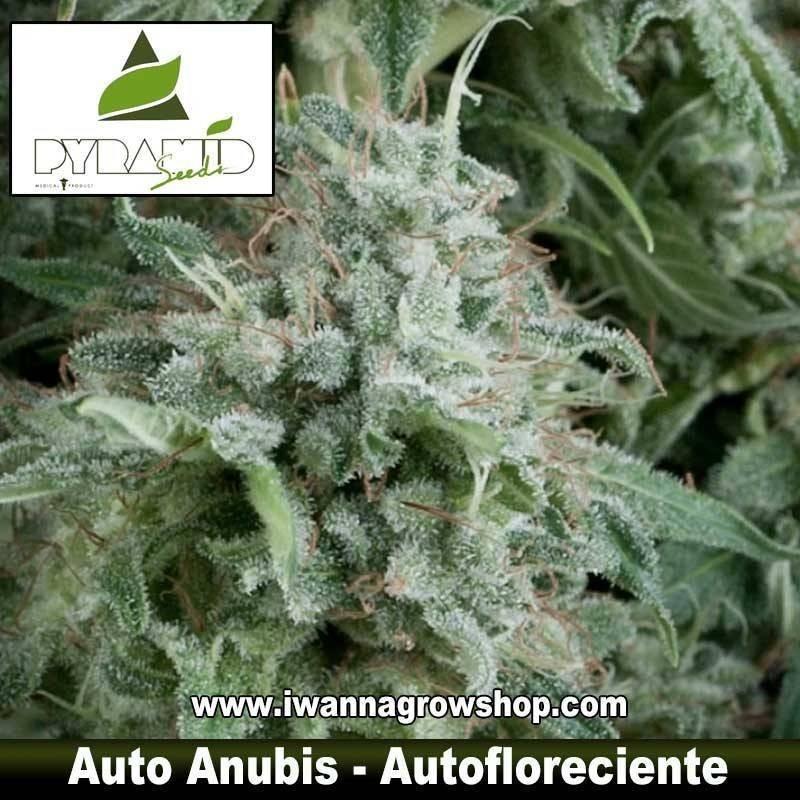 AUTO ANUBIS de PYRAMID SEEDS – (AUTOFLORECIENTE)(INDICA)