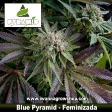 BLUE PYRAMID de PYRAMIDS SEEDS | Feminizada | Indica