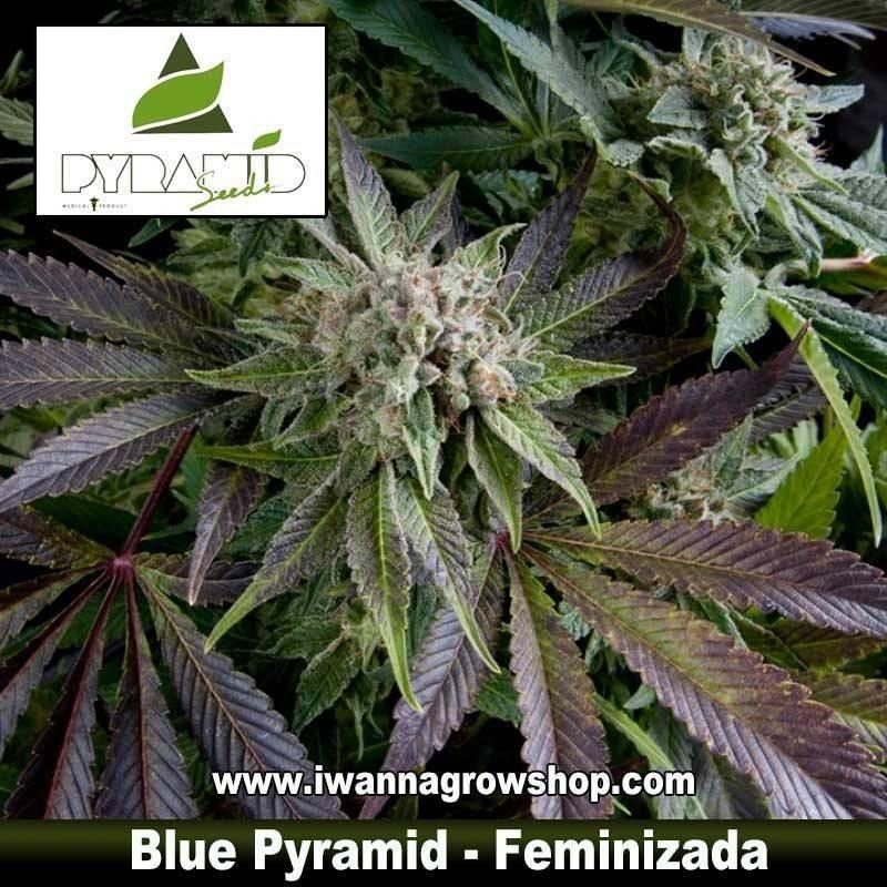 BLUE PYRAMID de PYRAMIDS SEEDS – semilla feminizada (INDICA)