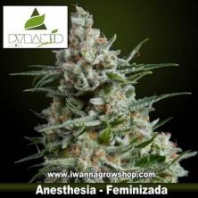 Anesthesia – Feminizada