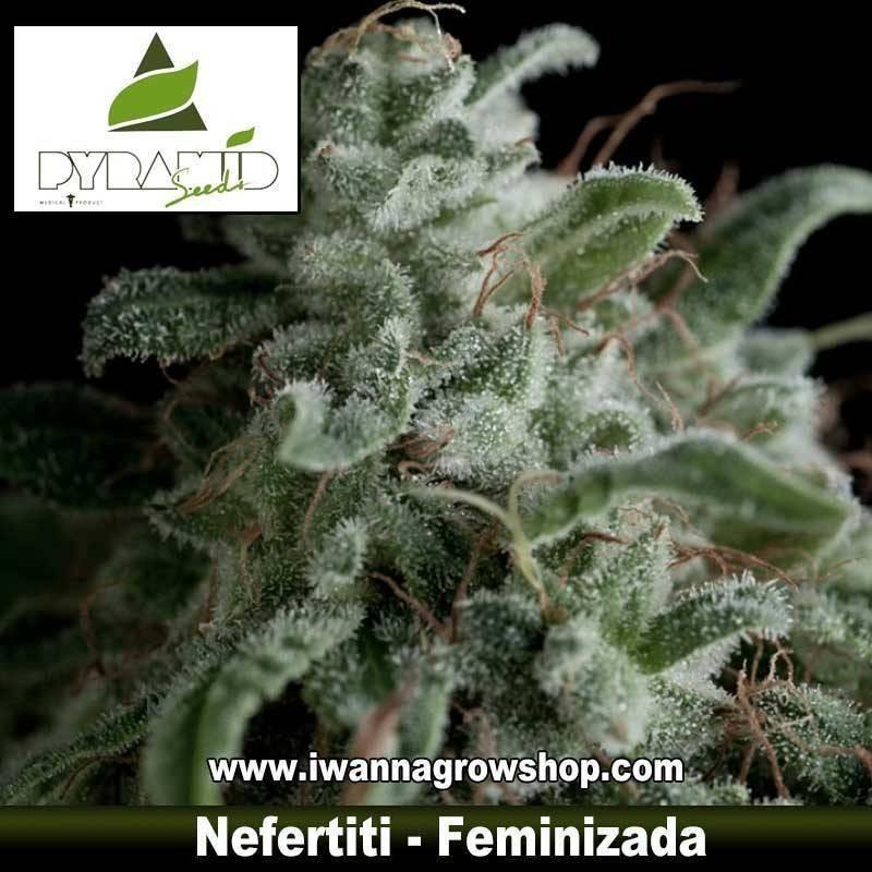 NEFERTITI de PYRAMIDS SEEDS – semilla feminizada (SATIVA)