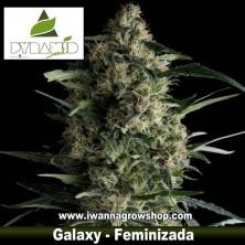 GALAXY de PYRAMIDS SEEDS | Feminizada | Indica