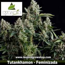 Tutankhamon – Feminizada