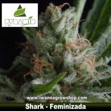 Shark – Feminizada