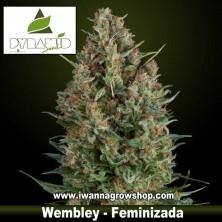 WEMBLEY de PYRAMIDS SEEDS | Feminizada | Indica