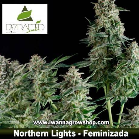 NORTHERN LIGHTS de PYRAMIDS SEEDS – semilla feminizada (INDICA)