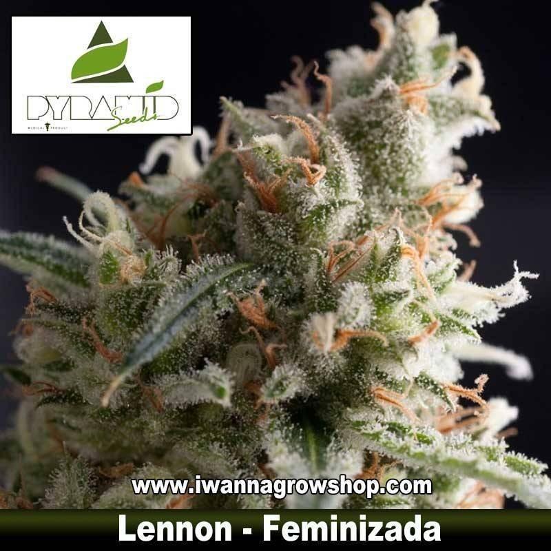 LENNON de PYRAMIDS SEEDS – semilla feminizada (SATIVA)