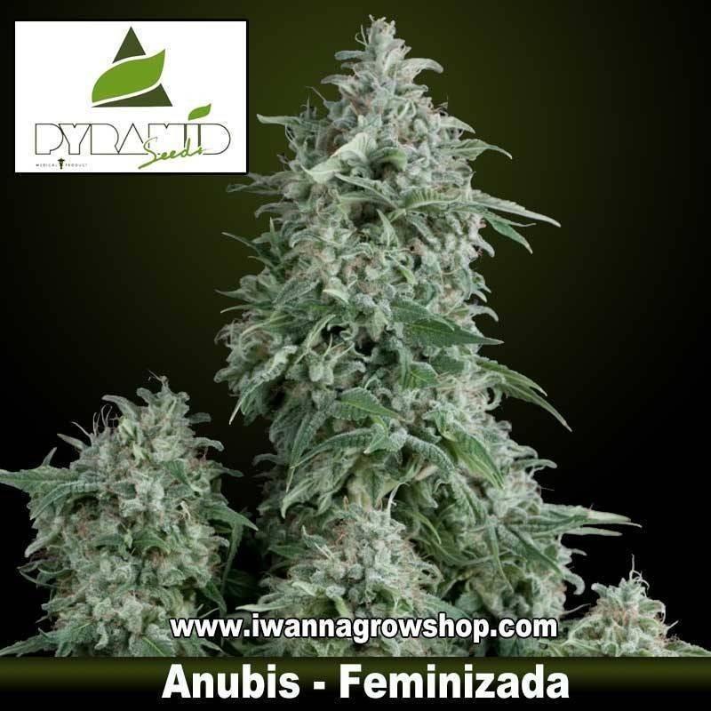 ANUBIS de PYRAMIDS SEEDS – semilla feminizada (INDICA)