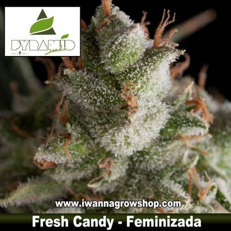 Fresh Candy – Pyramid Seeds