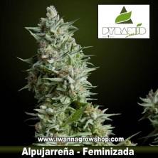 Alpujarreña – Pyramid Seeds