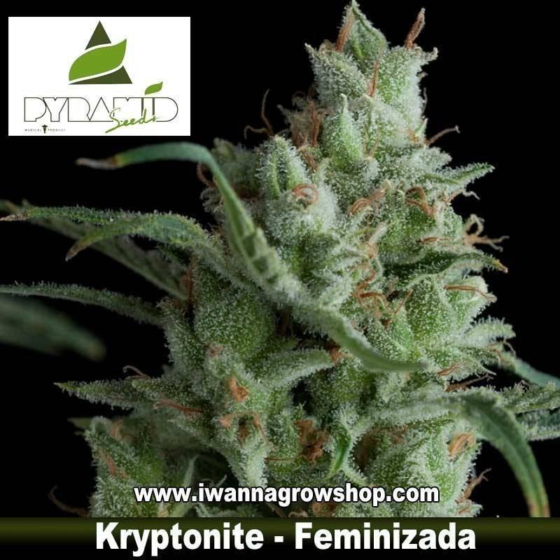 Kryptonite – Pyramid Seeds