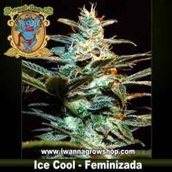 Ice Cool – Feminizada – Sweet Seeds