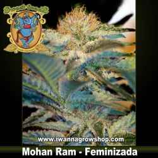 Mohan Ram – Feminizada – Sweet Seeds