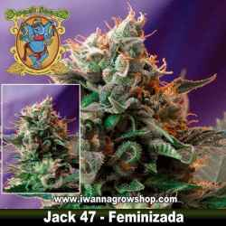 JACK 47 (SWEET SEEDS) (Feminizada) (SATIVA)