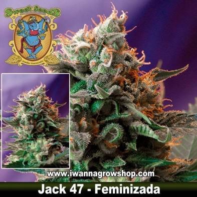 Jack 47 – Feminizada – Sweet Seeds