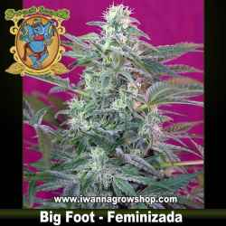 Big Foot – Feminizada – Sweet Seeds