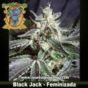 Black Jack – Feminizada – Sweet Seeds