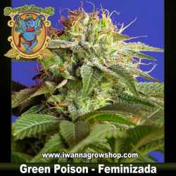 Green Poison feminizada - Sweet Seeds - 3, 5 y 10 u.