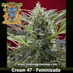 CREAM 47 (SWEET SEEDS) (Feminizada) (INDICA/SATIVA)