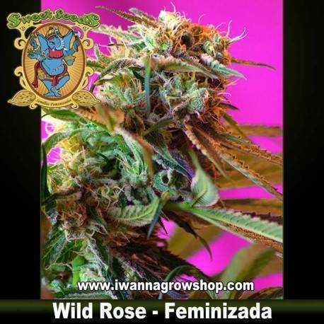 Wild Rose feminizada - Sweet Seeds - 3, 5 y 10 u.
