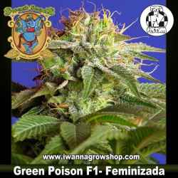 Green Poison F1 Fast Version – Feminizada – Sweet Seeds